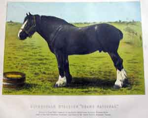Clydesdale Stallion Grand National