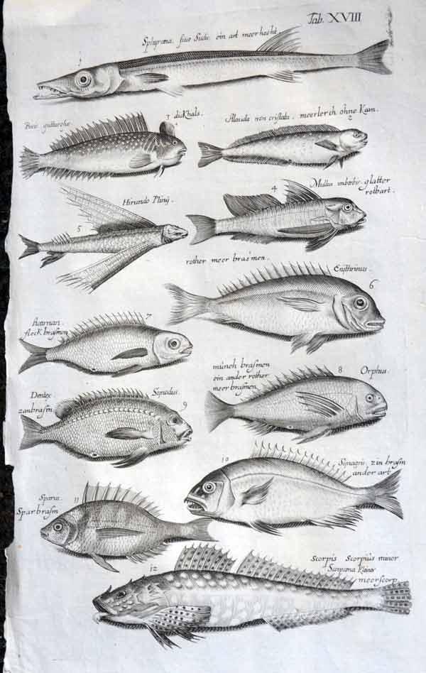 Heatons   Fish   Merian + Jonston